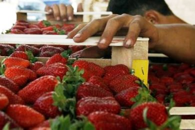Φράουλες με αίμα στη Μανωλάδα – Συλλήψεις, μποϋκοτάρισμα και αντιδράσεις