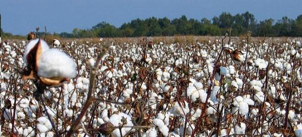 4ο Δελτίο Γεωργικών Προειδοποιήσεων ολοκληρωμένης  φυτοπροστασίας της βαμβακοκαλλιέργειας στην Π.Ε. ΡΟΔΟΠΗΣ  έτους 2014