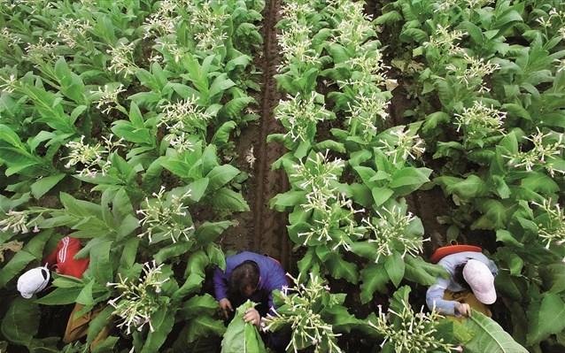 Η καλλιέργεια καπνού προκαλεί εκτεταμένες ζημιές στο περιβάλλον