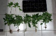 Συνελήφθη 41χρονος ημεδαπός κατηγορούμενος για καλλιέργεια δενδρυλλίων κάνναβης και κατοχή ναρκωτικών